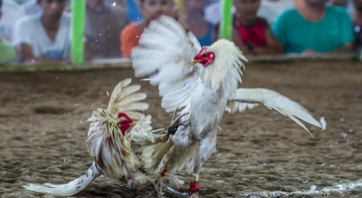 Cara Memilih Bandar Sabung Ayam Terpercaya