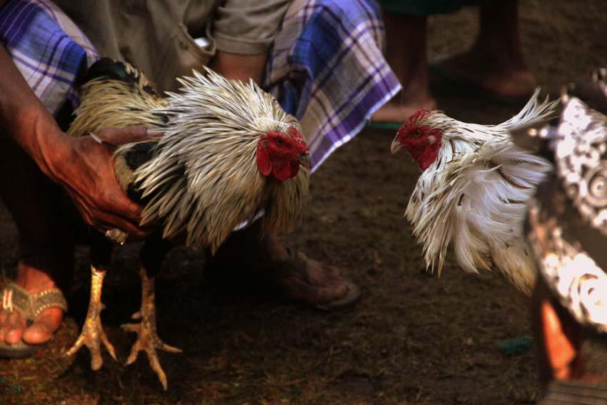 Tips dalam Memilih Bandar Sabung Ayam s128 Terpercaya