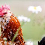 Beberapa Tips Memilih Situs Sabung Ayam Terbaik Di Internet